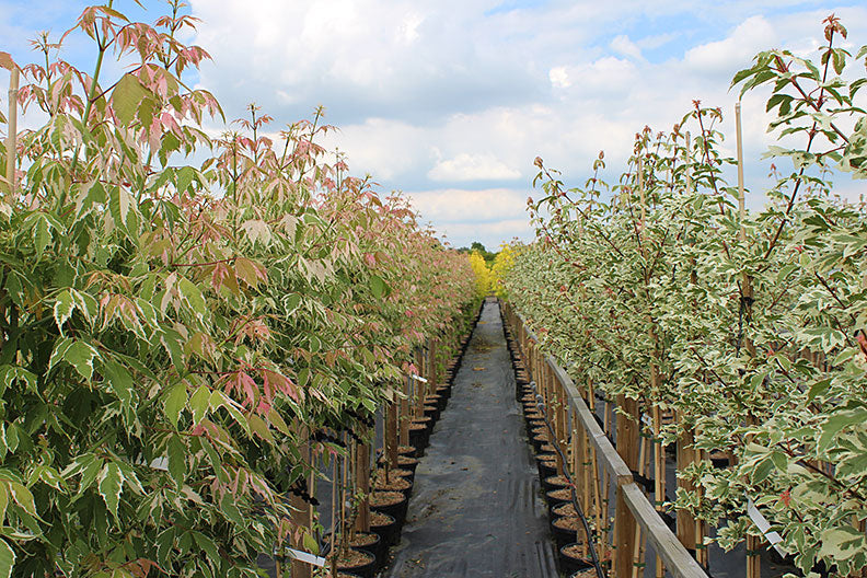 photinia red robin planting instructions