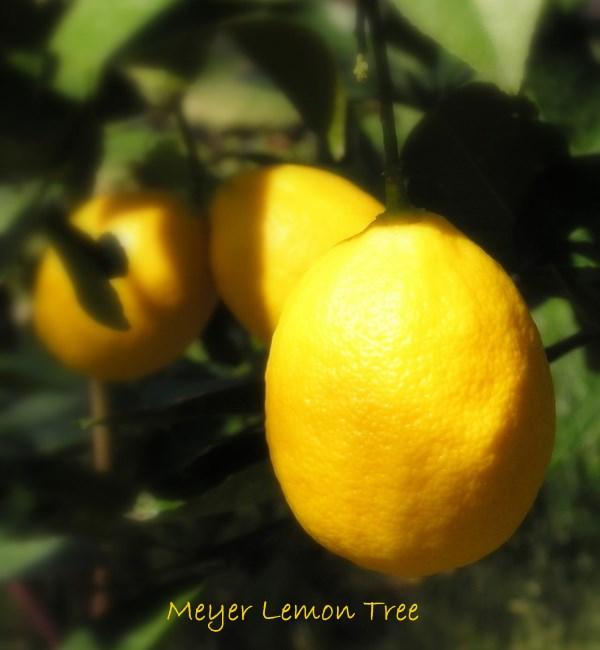 miniature lemon tree care instructions