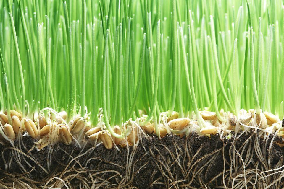 chia cat grass planter instructions