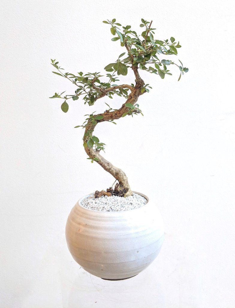 serissa bonsai care instructions